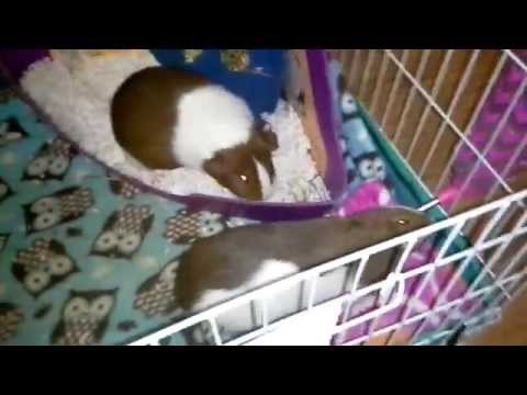 How To Spot Clean Fleece in a Guinea Pig Cage