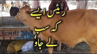 Australian Friesian Sahiwal Cow and Milk Capacity for Cattle Farming in Pakistan