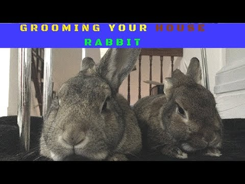 RABBIT CARE    Grooming Your House Rabbit