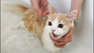 Download 【花花与三猫】短腿小猫初次洗澡,发出猪叫求救,几分钟后开始享受泡澡!舒爽! Video