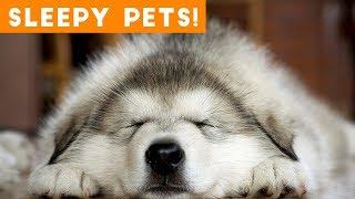Cutest Sleepy Pet and Animal Videos of 2018 | Funny Pet Videos
