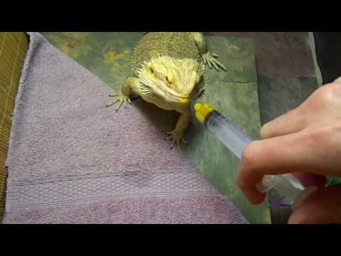 Bearded Dragon Loves Squash