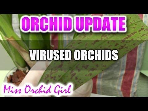 More virused orchids - Cymbidium Mosaic Virus and Oncidium Ringspot Virus