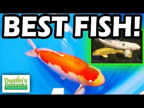 TOP 5 Aquarium FISH - My FAVORITE KOI Fish I Have Ever Met