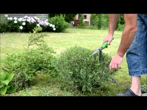 Salix purpurea trimming