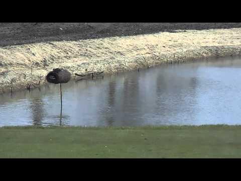 Mallards using a nesting tube