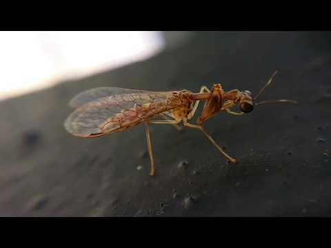 My first Mantidfly Macro Video Most Hard To Find Insects
