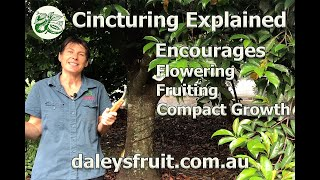 Cincturing Explained. A technique to encourage flowering, fruiting and to keep your trees compact.
