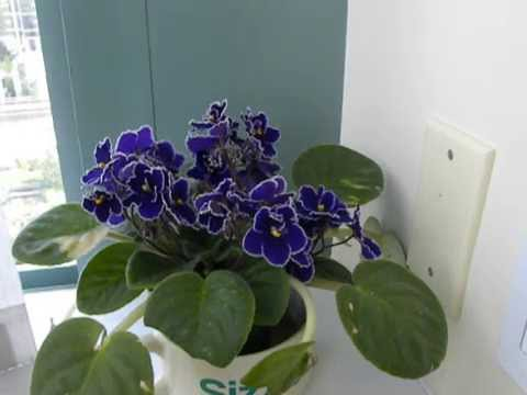 Snack on a Violet....( African) Watering simplified....