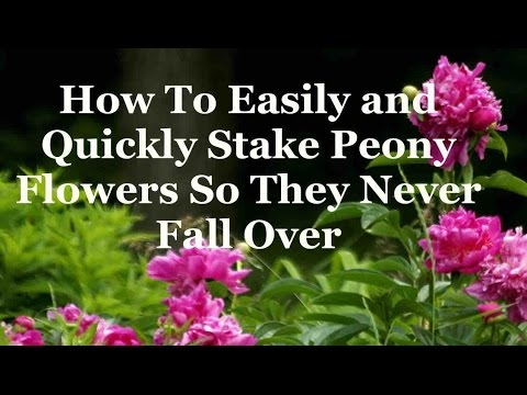 How To Easily and Quickly Stake Peony Flowers So They Never Fall Over