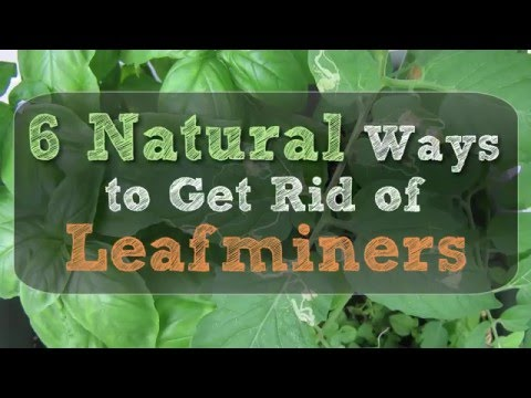 6 Natural Ways to Get Rid of Leafminers