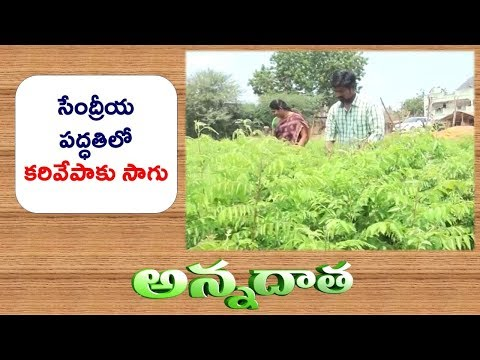 Profitable Organic Curry Leaf Production | Success Story of Krishna Farmer || ETV Annadata