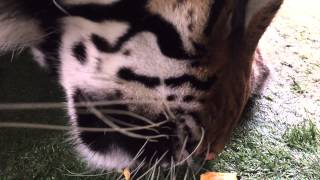 Will Tigers Eat Cheese ?