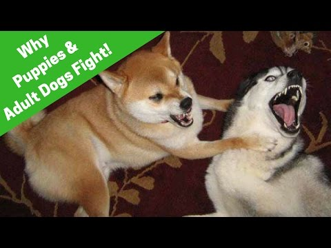 Why Do Puppies And Adult Dogs Fight? How To Handle The Situation.