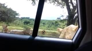 Hii video fupi imeniogopesha sana, iwafikie wote wanaokwenda mbuga za Wanyama na kujiamini ndani ya