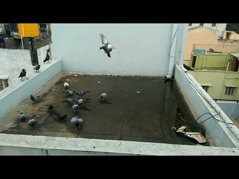 Pigeon and Crow get together