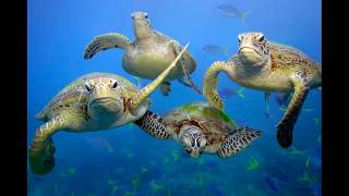 Green sea turtles may disappear