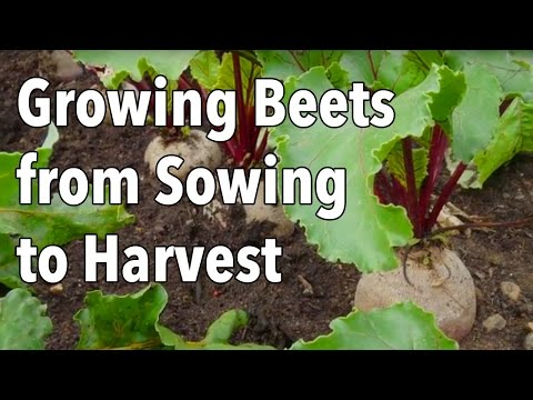 Growing Beets from Sowing to Harvest