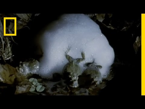 Frog Love Foam | National Geographic