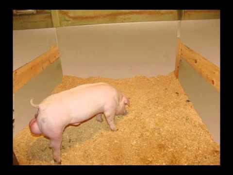 Show Pig: Pen Design, Feeders and Waterer - MoorMan's ShowTec