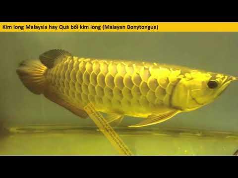 Tìm hiểu Cá rồng Đông Nam Á