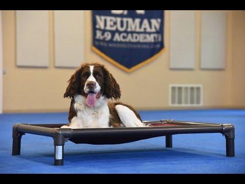 Cooper (Springer Spaniel) Boot Camp Dog Training Demonstration