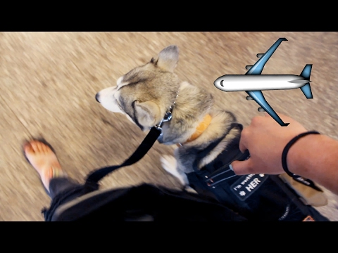 Husky On A Plane?! - Flying with a Service Dog
