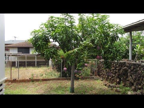 Small Rapoza Mango Tree That Produces Lots of Mangos!