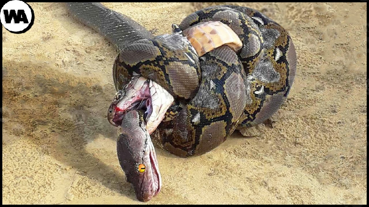 This Is Why the King Cobra Hates Other Snakes