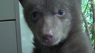 Bear cub mystery solved
