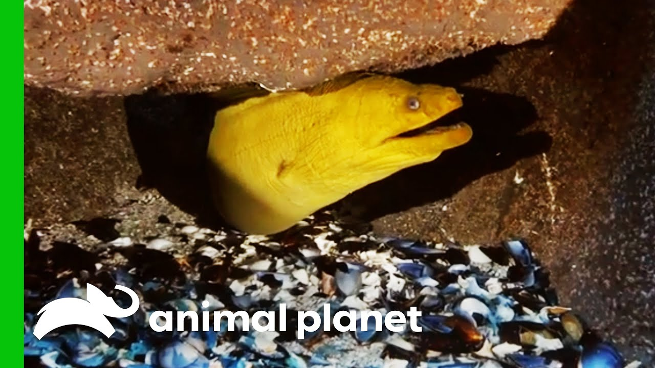 Moray Eel Escapes Holding Tank While Moving To New Exhibit   The Aquarium