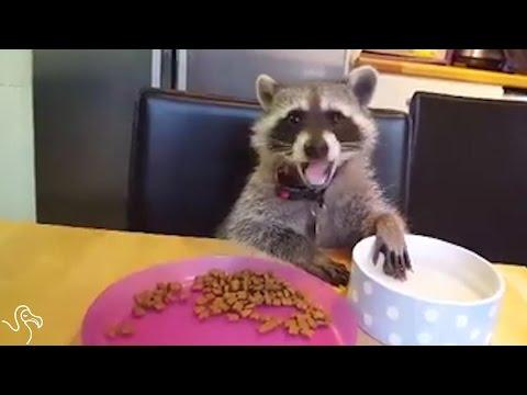 Baby Raccoon Helps His Mom Through The Hard Days