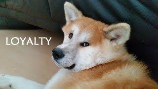 Akita Inu - Loyalty (秋田犬)