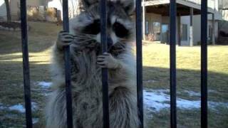 Who talks to a Raccoon?... DO NOT try this at home