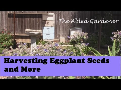 Harvesting Eggplant Seeds and More