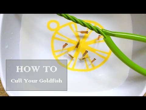 How to Cull Your Goldfish Fry