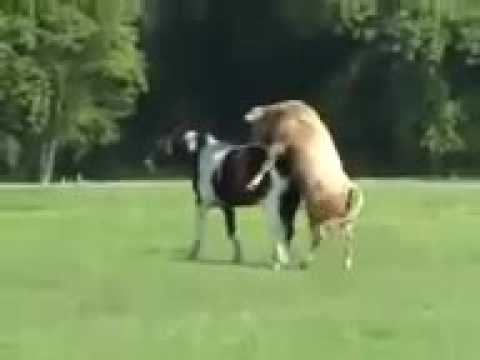 Xxx Mp4 KRISJAYANTO The Funny Horse And Bull Mating 3gp Sex