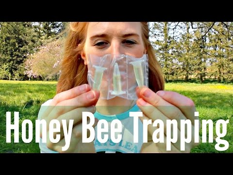 Honey Bee Trapping?! | How to use Lures and Attractants | Beekeeping with Maddie #10