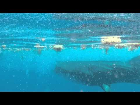 Cozumel snorkel and whale sharks
