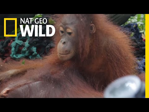 Baby Orangutan and Mother Saved From Near-Death Human Encounter | Nat Geo Wild