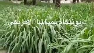 #x202b;زراعة البونيكام بين النخل احواض الله يبارك ويرزق راعيها#x202c;lrm;