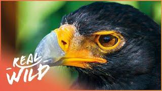 Tswapong Hills: Eagle Sanctuary [Botswana: Wild Kingdom Documentary] | Real Wild