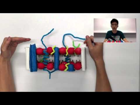 LSM1301 (General Biology) Cell Model Project - Structure & Functions of Plasma Membrane