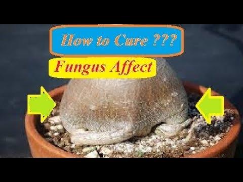 How to cure adenium killer fungus disease ?? In Bengali