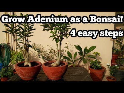 How to grow Adenium as a Bonsai(4 easy steps!) | Desert Rose Bonsai