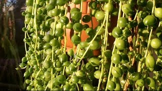 How to care for a String of Pearls plant - Senecio rowleyanus