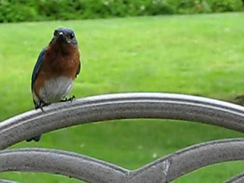 Nesting pair of Bluebirds in TN backyard