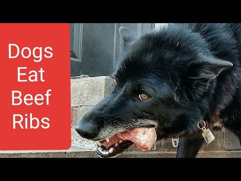 This is What Happens When You Feed 'BEEF RIBS' to Dogs!!!
