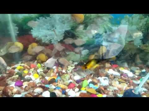 Silver dollar - aquarium fish