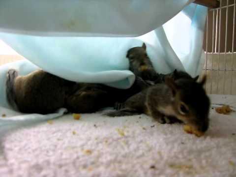 Babies squirrels 5-6 weeks old eating walnuts.